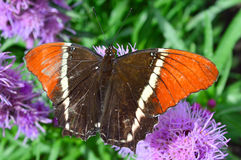 Red and Black Butterfly royalty free stock photo