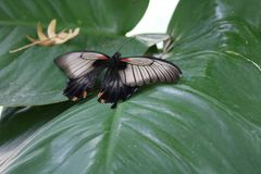 Red and black butterfly on a leaf. royalty free stock image