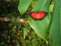 Red and black butterfly resting on leaf. Royalty Free Stock Image