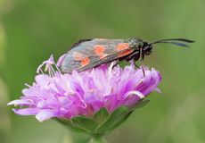 Red black butterfly (Zygaena ephialtes) Stock Images