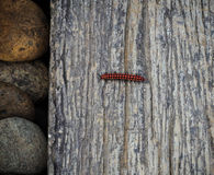 Red and black caterpillar Royalty Free Stock Photos
