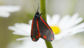 Red and black cinnabar moth Stock Photography