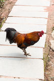 Red and black cock on street in Chengyang. Travel to China - red and black cock on street in Chengyang village of Sanjiang Dong Autonomous County in spring Royalty Free Stock Photography