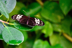 Red and black Common Postman butterfly Royalty Free Stock Photos