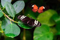 Red and black Common Postman butterfly Stock Images