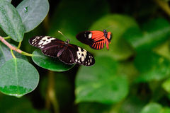 Red and black Common Postman butterfly Royalty Free Stock Photo