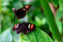 Red and black Common Postman butterfly Royalty Free Stock Image