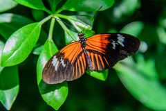 Red and black Common Postman butterfly Royalty Free Stock Images