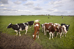 Red and black cows in dutch meadow Stock Photo