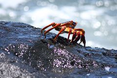 Red and black crab on wet rock near the water's edge Royalty Free Stock Photo