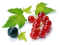 Red and black currant. On a white background Royalty Free Stock Photos