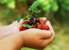 Red and black currant. A hand full of black and red currant Royalty Free Stock Photo