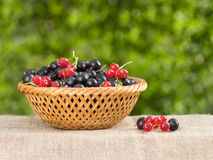 Red and black currant in a basket on a background of foliage Royalty Free Stock Photo