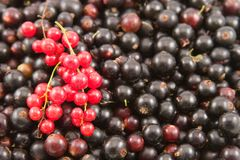 Red and black currant closeup Stock Image