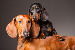 Red and black Dachshund Dogs posing on gray Royalty Free Stock Photos