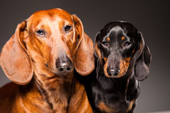 Red and black Dachshund Dogs posing on gray Royalty Free Stock Images