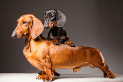 Red and black Dachshund Dogs posing on gray. Big Red and small black Dachshund Dogs posing on gray background Royalty Free Stock Images