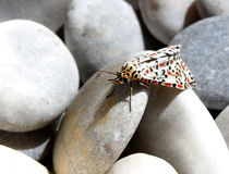 Red Black Dotted Moth Royalty Free Stock Images