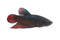 Red and black Fighting Fish species Thailand. Stock Photo