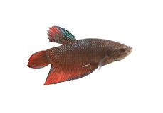 Red and black Fighting Fish species Thailand. Stock Image