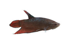 Red and black Fighting Fish species Thailand. Royalty Free Stock Photography