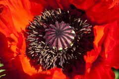 Red and Black Flower Stock Photo