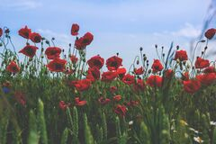 Red and Black Flower on Green Grass Under Blue Clear Sky during Daytime Stock Images