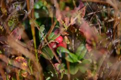 Red and Black Forest berries grow in the forest on the bushes under the rays of the sun. Autumn bilberry cranberry green leaf lingonberry nature plant season stock images