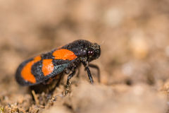 Red-and-black froghopper (Cercopis vulnerata) in profile Royalty Free Stock Images