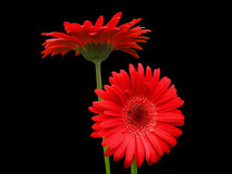 Red on Black (Gerbera Daisies). A pair of brilliant red Gerbera daisy flowers are striking against the keyed and trimmed black background. The orthogonaly Stock Photography