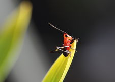 Red and black grasshopper perching on a leaf. Small red and black grasshopper perching on a leaf Stock Images