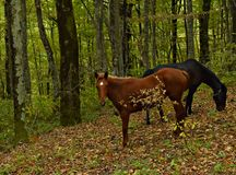 Grazing horses in the autumn forest in the mountains Stock Images
