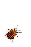 Red and black insect Graphosoma lineatum. Red and black insect in the studio on a white background Royalty Free Stock Images