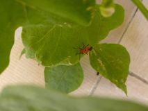 Red and black insect on hydroponics plant. Red and black insect on plants grown on hydroponically grown plant Royalty Free Stock Image