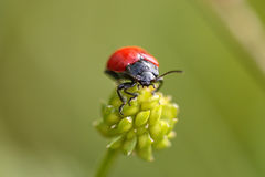 Red and black insect. From a portuguese meadow Royalty Free Stock Image