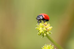 Red and black insect. From a portuguese meadow Stock Photo