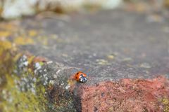Red and black lady bug beetle royalty free stock image