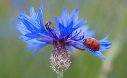 Red and Black Lady Bug on Purple Flower during Daytime Stock Photos