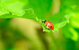 Red and Black Ladybird Stock Photos