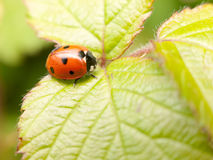 A red and black ladybird resting upon a leaf inside its shell wa Royalty Free Stock Images