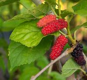 Red and black mulberry on tree. Closeup Mulberry fruits in plant stock photography