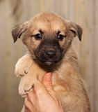 Red and black puppy sitting on hands Stock Photography