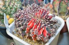 Red - Black Purple Gymnocalycium Mihanovichii Variegate Stock Image