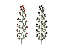 Red and black rose plants. Illustration of red and black blooming rose plants isolated on white background Stock Photography
