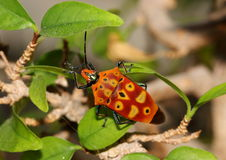 Red and black stink bug on a leaf. Royalty Free Stock Photography