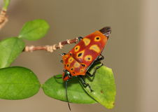 Red and black stink bug on a leaf. Royalty Free Stock Image