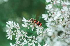 A red black striped fluffy beetle sits on a white flower on a green blurred background. Trichodes or bee beetle. Poisonous plant royalty free stock photo