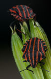 Red and black striped minstrel bug vertical macro. Stock Photography