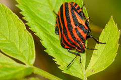 Red black striped shield bug sitting on a flower Stock Photos