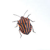 Red black striped shield bug on a white background Stock Photos